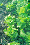 Lettuce under a protection net Royalty Free Stock Photo