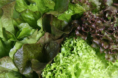 Lettuce Variety. Close-up of mixed lettuce leaves, suitable as background. Short DOF due to nature of subject Stock Photo