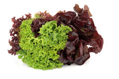 Lettuce Variety. Of lollo rossa, red and green batavian, grown in the same plant  over white background Royalty Free Stock Images