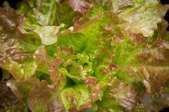 Lettuce variety drunken woman fringed head Stock Photos
