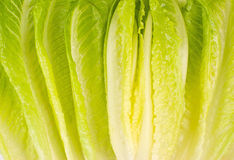 Free Lettuce Vegetable Stock Image - 15733821