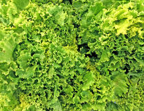 Lettuce vegetable for background. Royalty Free Stock Photo