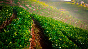 Lettuce. Vegetable bed on Thailand mountains Stock Image