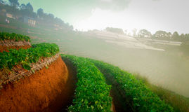 Lettuce. Vegetable bed on Thailand mountains with mist Stock Images