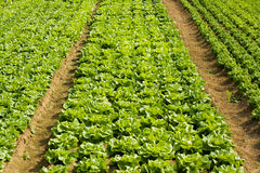 Lettuce and vegetable field Royalty Free Stock Images