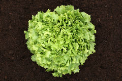 Lettuce on vegetable field from above Royalty Free Stock Photo