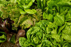 Lettuce, vegetable garden Royalty Free Stock Photo