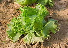 Lettuce in vegetable garden Stock Photos