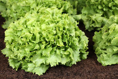 Lettuce in vegetable garden or field Stock Image