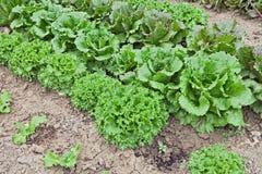 Lettuce in vegetable garden Stock Images