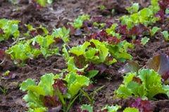 Lettuce in vegetable garden Stock Image