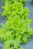 Lettuce in a vegetable garden. Stock Photography