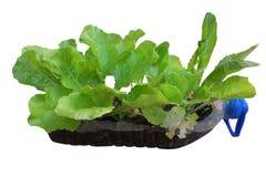 Lettuce. Vegetable Royalty Free Stock Photos