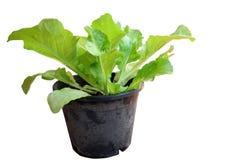 Lettuce. Vegetable Stock Photo