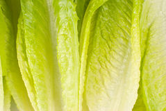 Lettuce vegetable on white background Royalty Free Stock Image