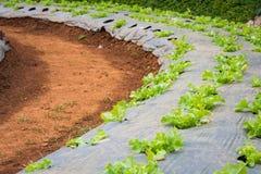 Lettuce vegetables in field Stock Photo