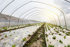Lettuce vegetables grown in the greenhouse Royalty Free Stock Images
