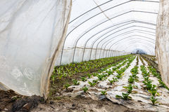 Lettuce vegetables grown in the greenhouse Stock Photo
