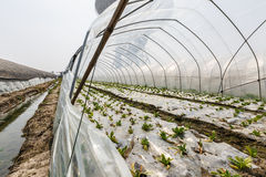 Lettuce vegetables grown in the greenhouse Royalty Free Stock Photos