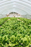 Lettuce vegetables grown in the greenhouse Stock Images