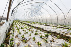 Lettuce vegetables grown in the greenhouse Stock Photography