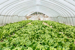 Lettuce vegetables grown in the greenhouse Royalty Free Stock Photography