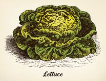 Lettuce vintage illustration vector Royalty Free Stock Photo