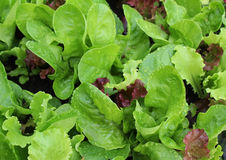 Lettuce with water drops on garden bed Royalty Free Stock Images