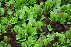 Lettuce with water drops on a garden bed Stock Photography