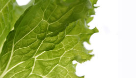 Lettuce on white. Lettuce leaf, light going through, visible structure Royalty Free Stock Photo