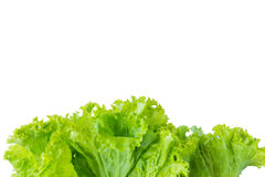 Lettuce and white background. For text input Stock Photography