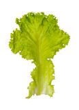 Lettuce on white isolate background for design project. Royalty Free Stock Images