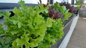 Lettuce in window box Royalty Free Stock Image