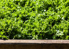 Lettuce in wooden planter Stock Image