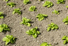 Lettuce20 Photo stock
