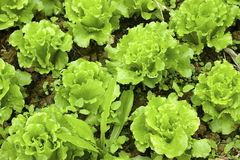 Lettuces Stock Images