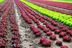 Lettuces Royalty Free Stock Images