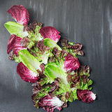Lettuces and chicory Royalty Free Stock Photo