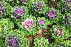Lettuces on the dirt. Green and purple lettuces on the dirt Stock Images