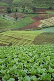 Lettuces field mountain view Royalty Free Stock Photography