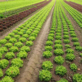 Lettuces in the fields Stock Photos
