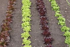 Lettuces in a Garden. Stock Photos