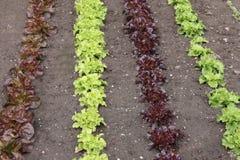 Lettuces in a Garden. Stock Photos