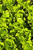 Lettuces growing in a garden Royalty Free Stock Photography