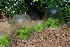 Lettuces growing in garden plastic bell jars Royalty Free Stock Photo