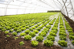 Lettuces in a hothouse. Vegetables cultivation in a hothouse stock images