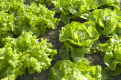 Lettuces in the organic vegetable garden. Stock Images