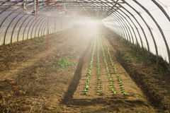 Lettuces in a row in a greenhouse watered Stock Photo