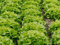 lettuces. Stock Photo