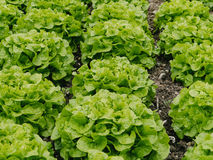 Lettuces. Stock Images